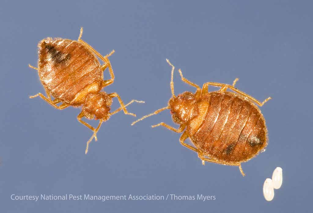 bed bug male, female, and eggs