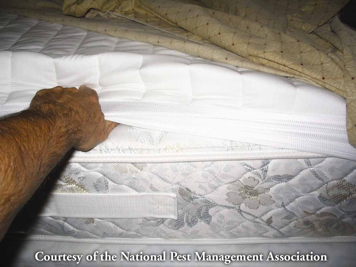 Male mattress Bed bed2 A common bedbug ...