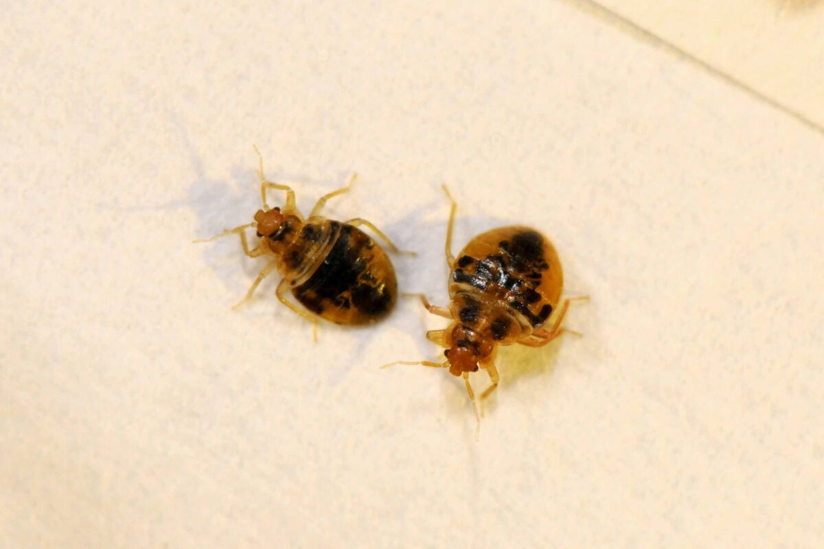 12_Bed Bug Nymphs