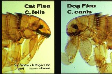 Fleas Photo by Univar