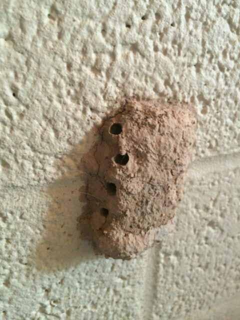 Mud Dauber Wasp Not Termites ⋆ Probest Pest Management