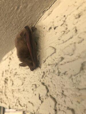Bat Rescue