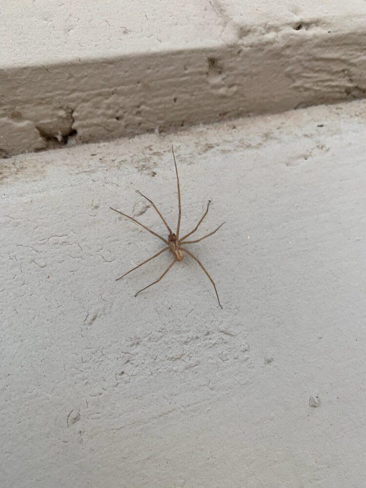 Arizona Brown Spiders